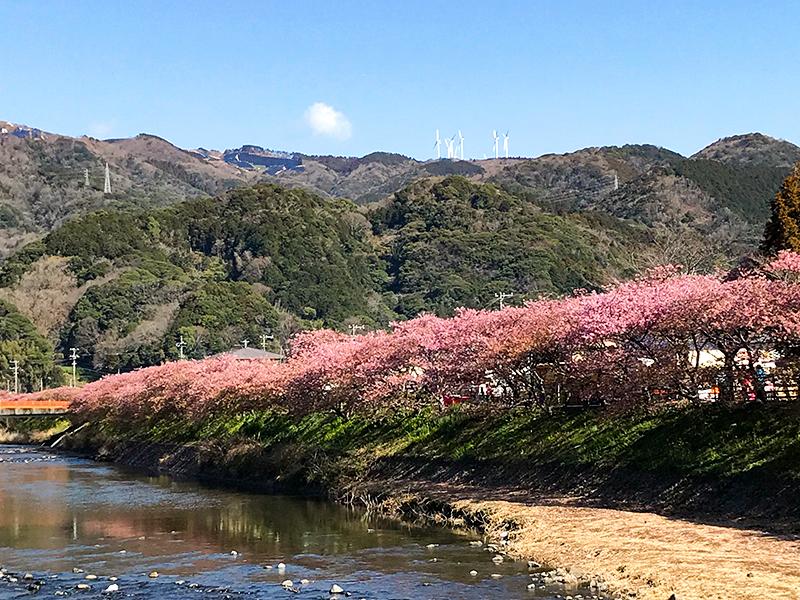 春の風物詩!早咲きで有名な伊豆の河津桜を見に行ってきました♪