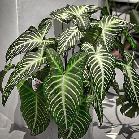 お部屋を華やかにしてくれる、観葉植物の魅力