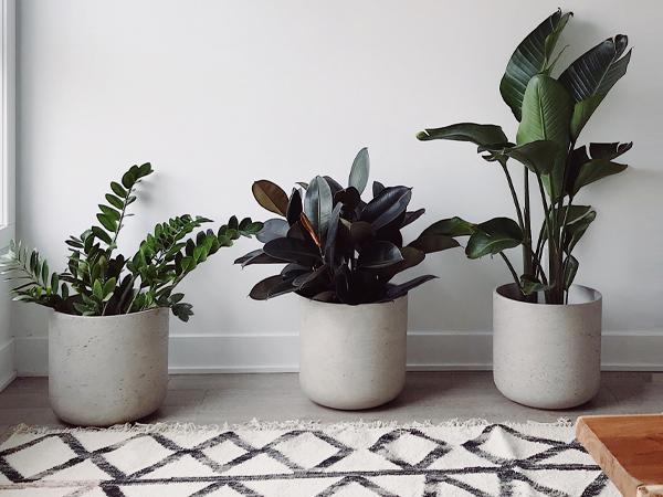 育てやすい上に映える観葉植物